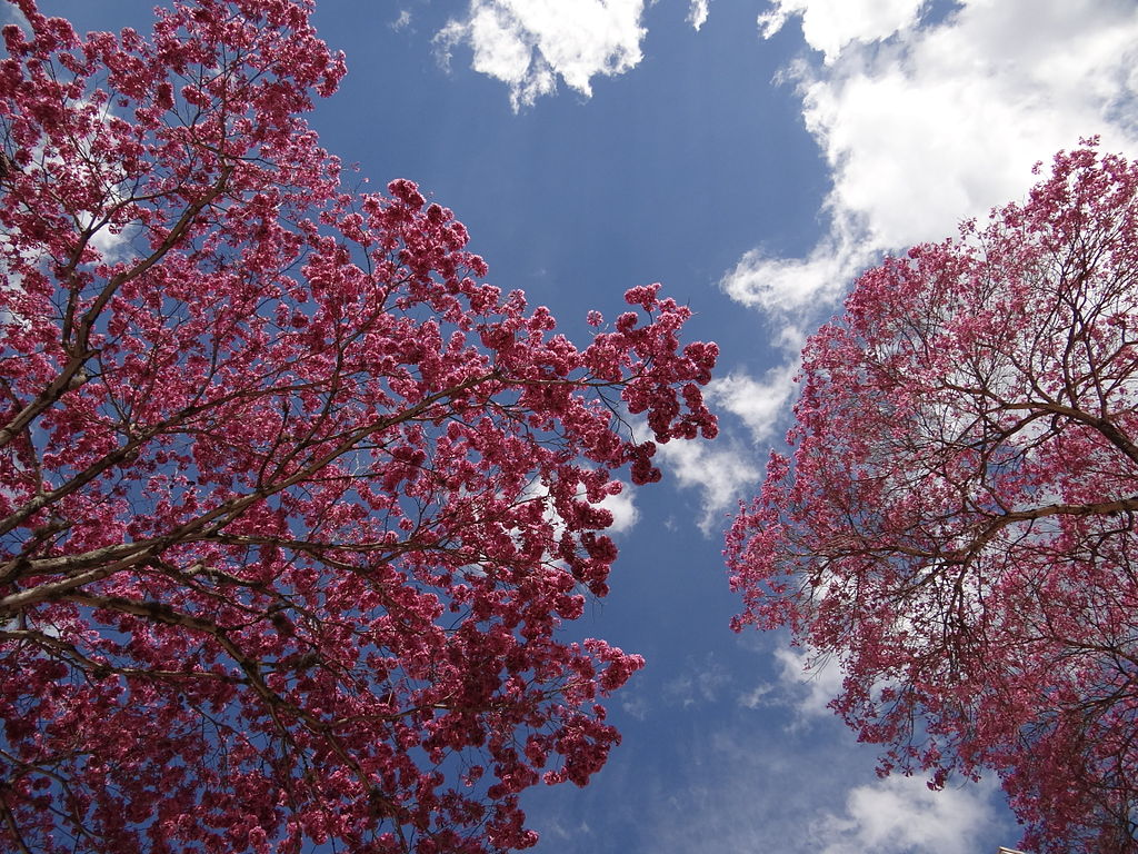 A sky of pink flowers Ipe