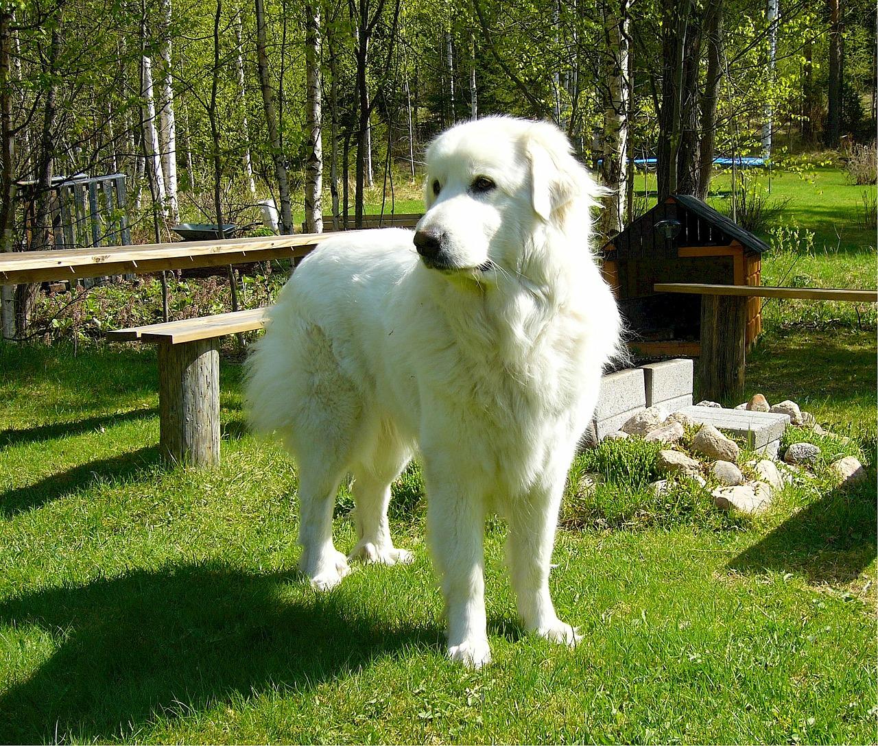 Pyrenean Mountain Dog or Pyrenean Shepherd (Berger des Pyrénées)